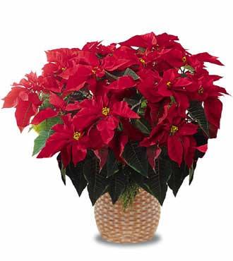 Comprar flor de pascua online cuidados plantas y geranios - Flor de pascua cuidados ...
